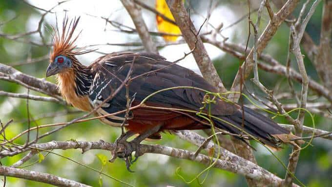 معلومات عن طائر الهاوتزن