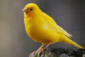 ماذا تأكل طيور الكناري