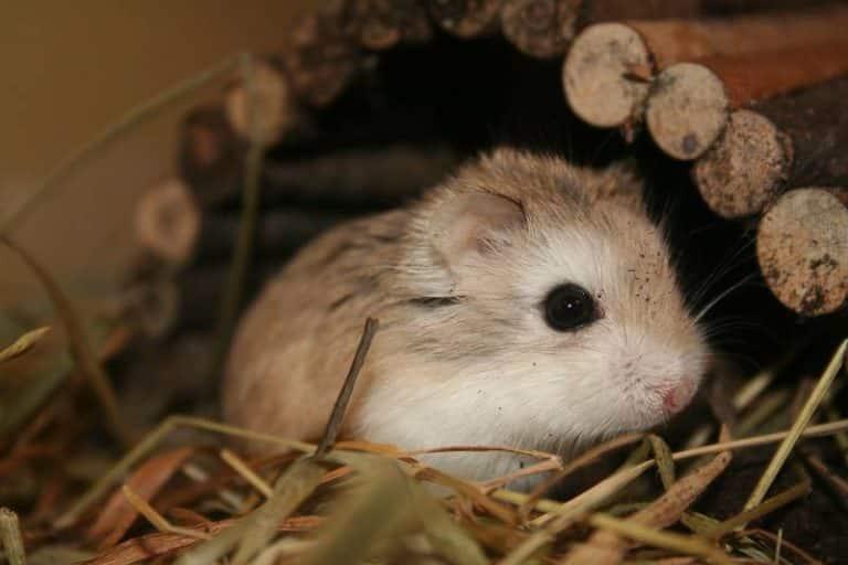 فأر الهامستر