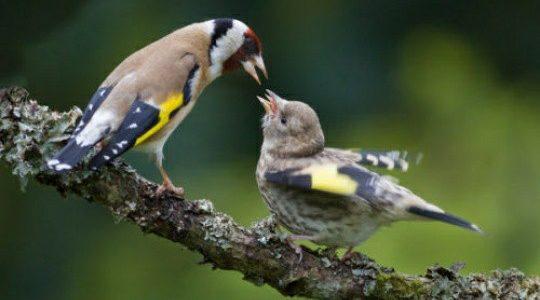 """ماذا يأكل طائر الحسون ظ…ط§ط°ط§-ظٹط£ظƒظ""""-ط·ط§ط¦ط±-ط§ظ""""طط³ظˆظ†-540x300.jpg"""