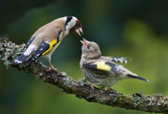 ماذا يأكل طائر الحسون