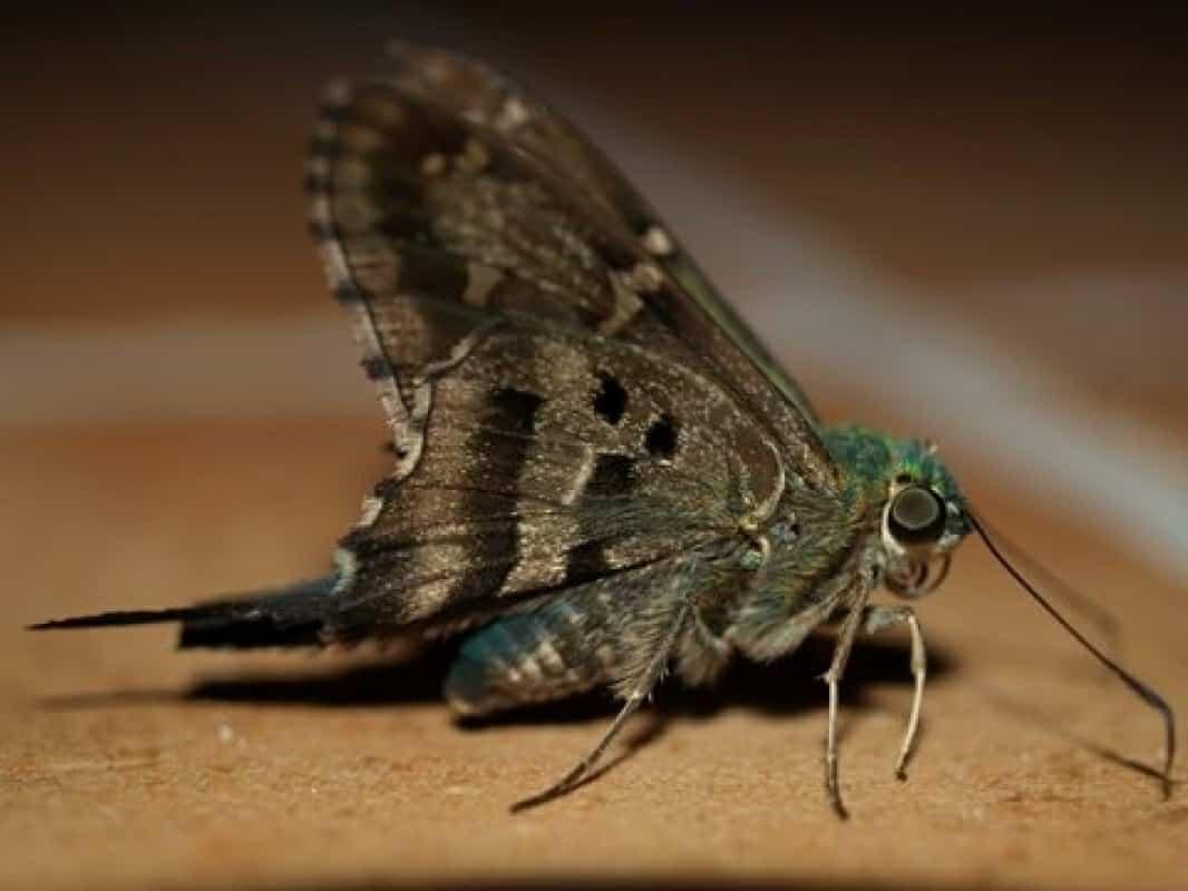 الفراشة الليلية