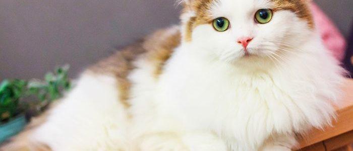 جميع أنواع القطط وأسماؤها