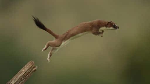 ابن عرس يقفز