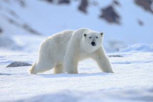 معلومات عن الدب القطبي
