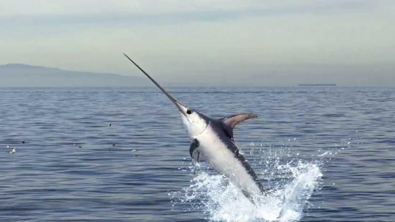سمكة السياف