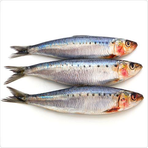 معلومات عن سمك السردين