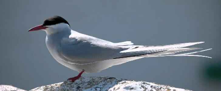 معلومات عن طائر الخرشنة القطبية