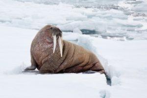 معلومات عن حيوان فيل البحر