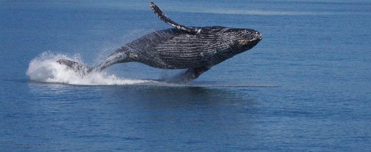 معلومات عن الحوت الأحدب