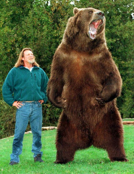 الدب الأشيب