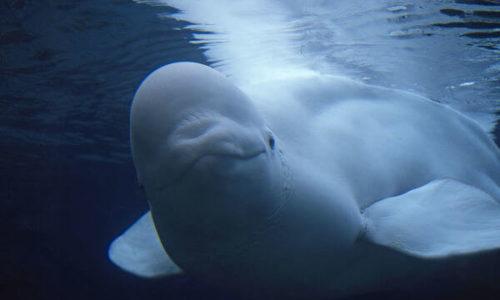 معلومات عن الدلفين الأبيض