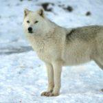 معلومات عن الذئب القطبي
