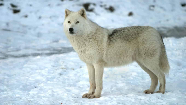 الذئب القطبي