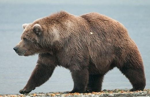 حيوان الدب الأشيب