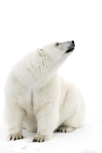 حيوان الدب القطبي الأبيض
