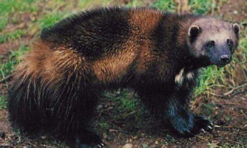 معلومات عن حيوان اللقام