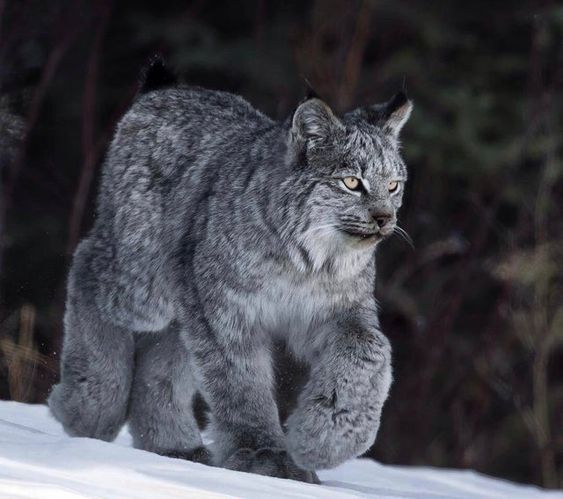 حيوان الوشق في الثلج
