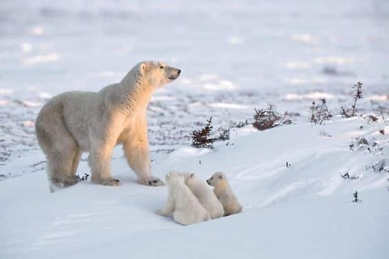 دب القطب