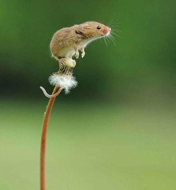 فأر صغير