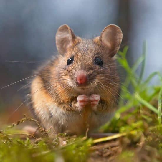 فأر في الغابة
