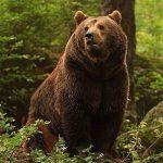 معلومات عن الدب الأشيب
