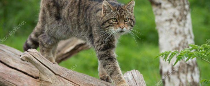 معلومات عن القط البري