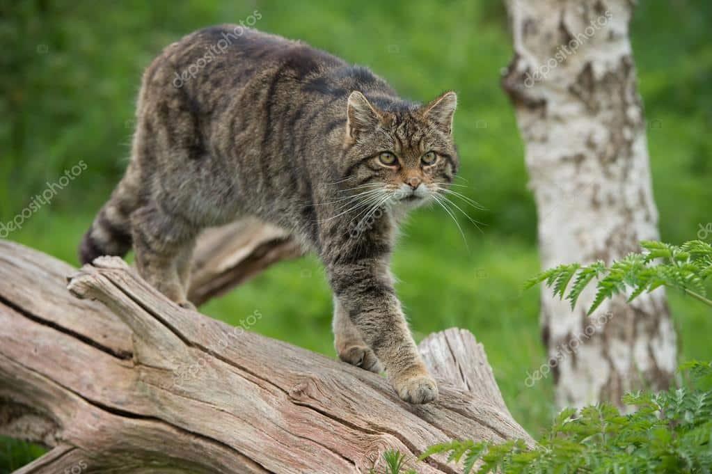 معلومات عن القط البري معلومات عنها طرق العيش الغذاء بيئتها التربية المنزلية و التكاثر أكبر موضوع شامل