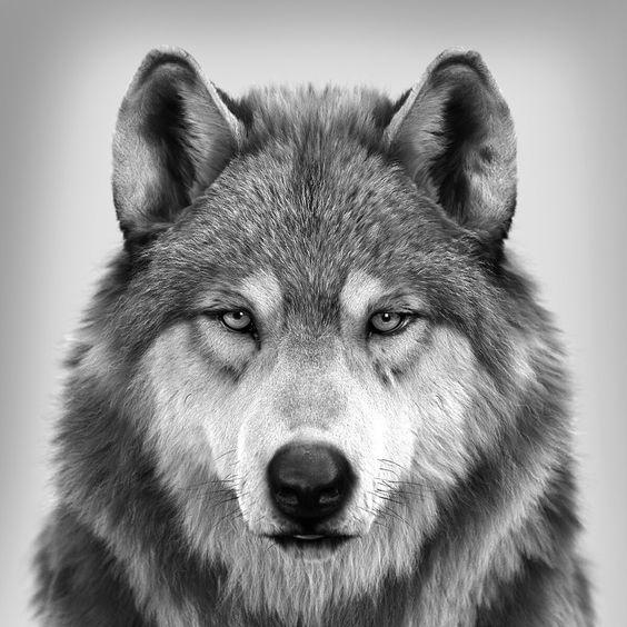 حيوان الذئب