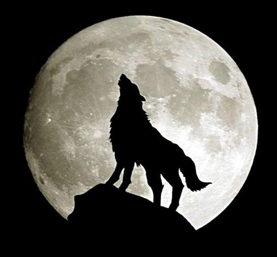 حيوان ذئب في الغابة ليلا