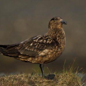 طائر الكركر الكبير