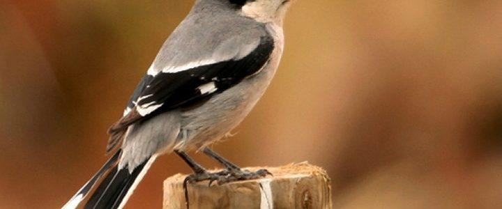 طائر النهس