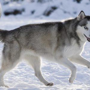 معلومات عن كلاب الاسكيمو