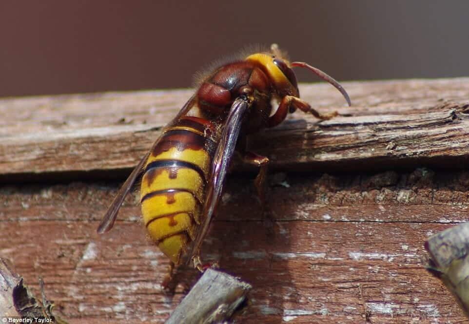 حقائق عن حشرة الزنبور الفاقع