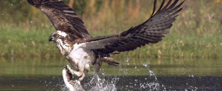 الصقر صائد السمك