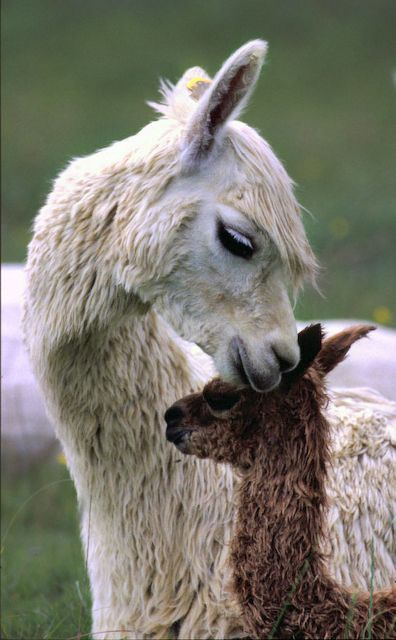 حيوان اللاما مع صغيره