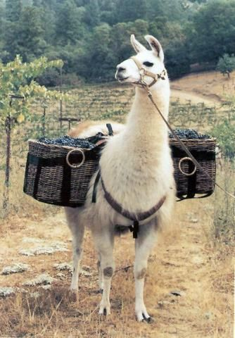حيوان اللاما يستخدم للنقل