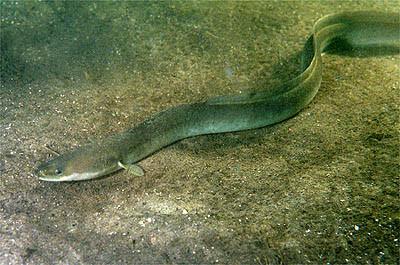 سمكة الجريث