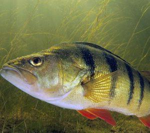 سمكة الفرخ