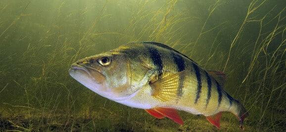 سمك الفرخ