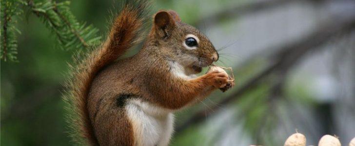ماذا يأكل السنجاب