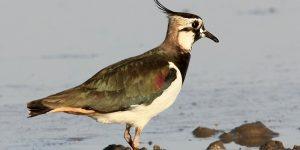 طائر أبو طيط ذو العرف