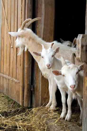 الماعز و التيس