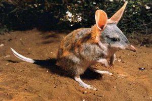معلومات عن حيوان البندقوط Bandicoot (Perameles) – الحيوانات من الألف إلى الياء