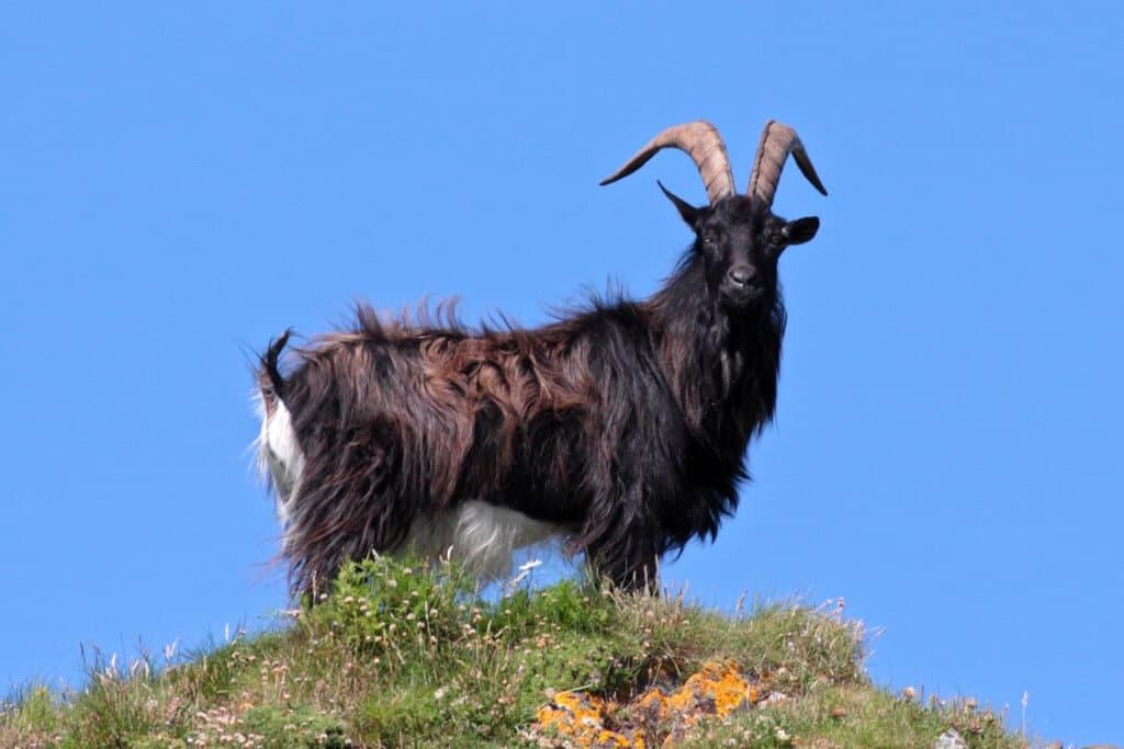 حيوان الماعز
