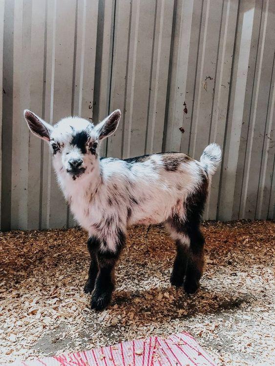 صغير الماعز