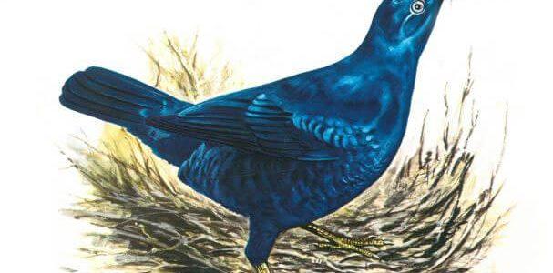 طائر الخدر الأطلسي