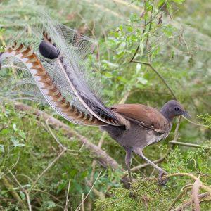 معلومات عن طائر القيثارة