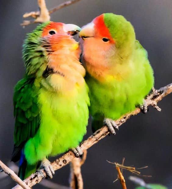 طىور الحب