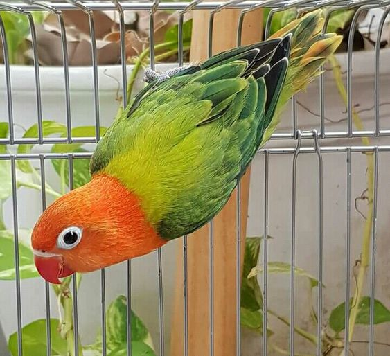 طير الحب